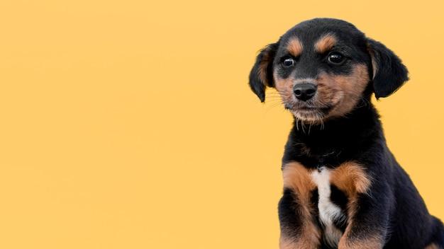 Cão bonito cópia-espaço em fundo amarelo Foto gratuita