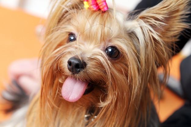 Cão bonito e fofo york terrier Foto gratuita