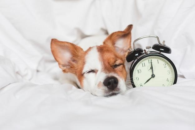 Cão bonito na cama em casa com despertador Foto Premium