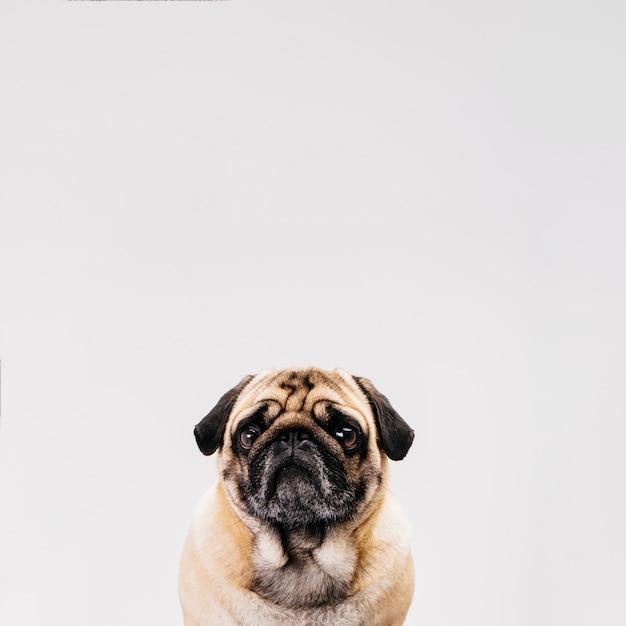 Cão bonito posando na frente da câmera Foto gratuita