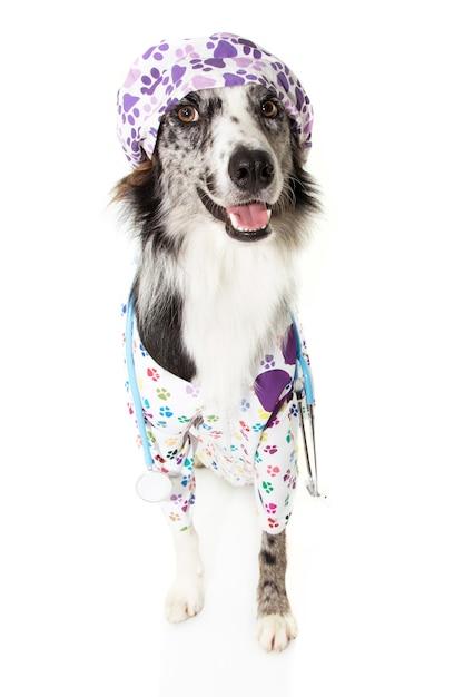 Cão border collie vestido como veterinário vestindo estetoscópio e boné, vestido de hospital e boné. Foto Premium