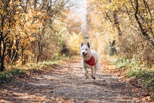 Cão branco andando no parque outono Foto gratuita