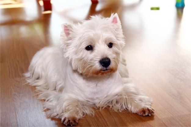 Cão branco engraçado em casa Foto gratuita