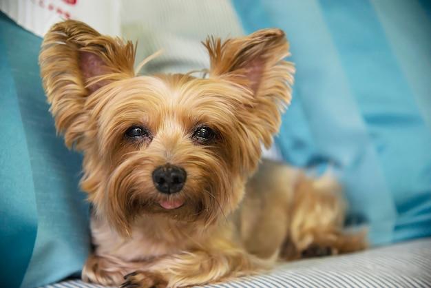 Cão bronzeado adorável do yorkshire terrier Foto gratuita