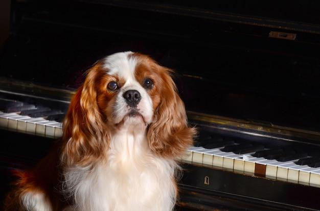 Cão cavalier king no piano. Foto Premium
