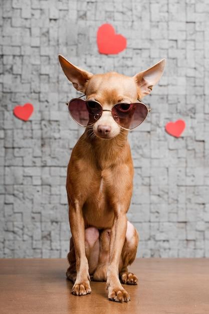 Cachorro pequeno Chihuahua com óculos de coração, cachorros que vivem mais tempo