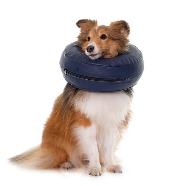 Cão com gola protetora Foto Premium