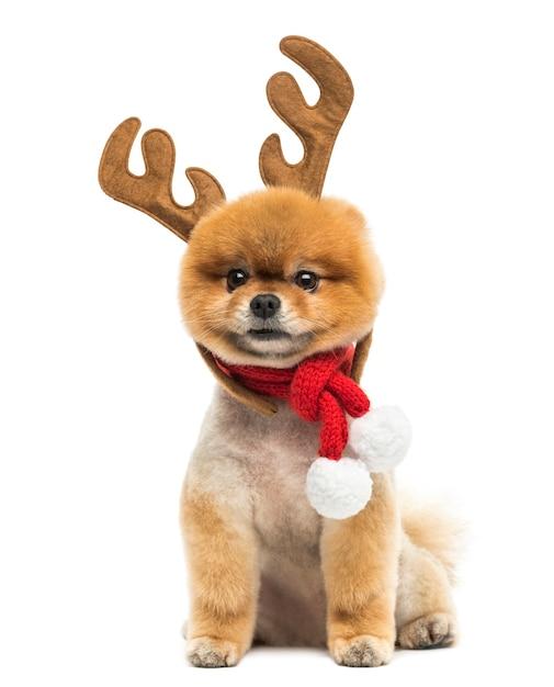 Cão da pomerânia bem cuidado sentado e usando uma faixa de chifres de rena e um lenço de natal Foto Premium