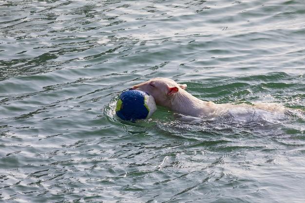 Cão da raça bull terrier miniatura (sequência de várias fotos). cabelo curto e branco (claro). pulando para jogar na água (mar) com bola (bola) em dia ensolarado. Foto Premium
