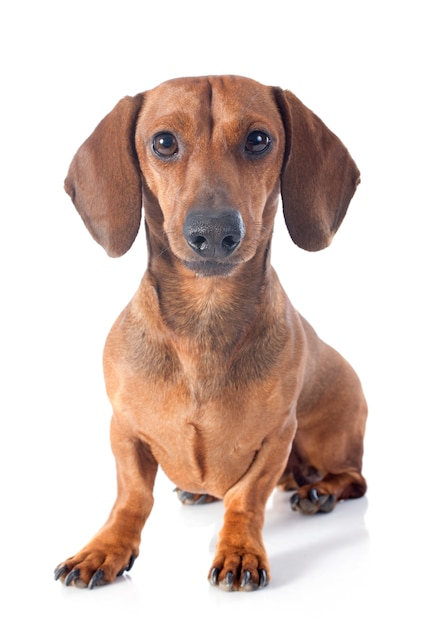 Cão dachshund Foto Premium