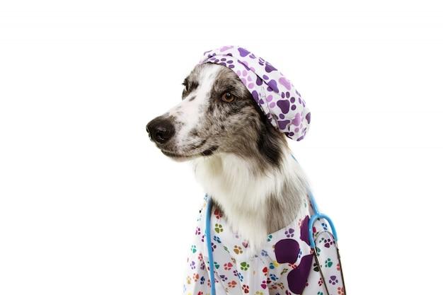 Cão de border collie vestido como estetoscópio veterinário, boné e vestido de hospital. Foto Premium