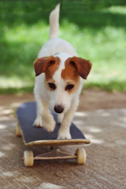 Cão de jack russell no skate que desgasta nas férias do verão. Foto Premium