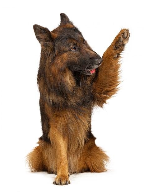 Cão de pastor alemão com sua pata isolada no branco Foto Premium