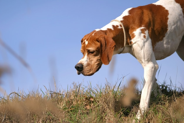 Cão de ponteiro de pêlo curto alemão Foto Premium