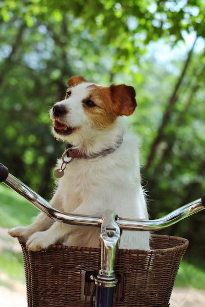 Cão de russell do jaque que viaje em um carregador da cesta da bicicleta ou da bicicleta no fundo verde natural Foto Premium