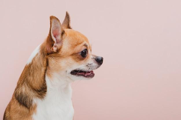 Cão de vista lateral com a boca aberta, olhando para longe Foto gratuita