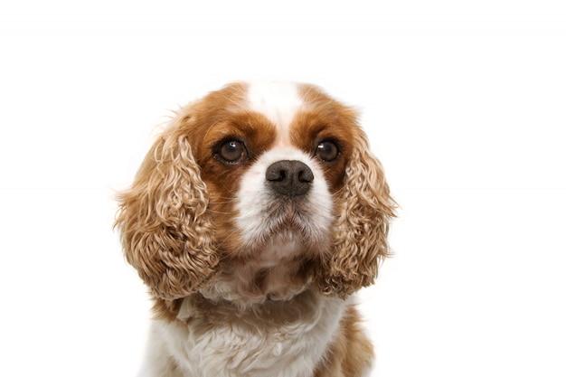 Cão descuidado do retrato com as orelhas grandes isoladas no branco Foto Premium