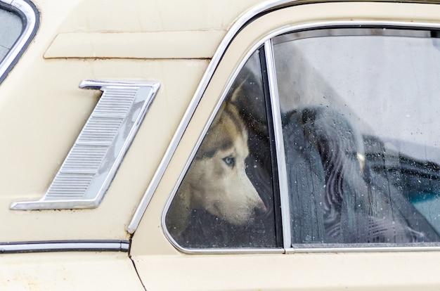 Cão do cão de puxar trenós siberian fechado no carro e olhando para fora da janela. Foto Premium
