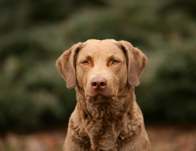 Cão do retriever de baía de chesapeake na floresta. Foto Premium