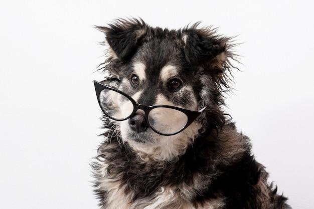 Cão doméstico com óculos Foto gratuita