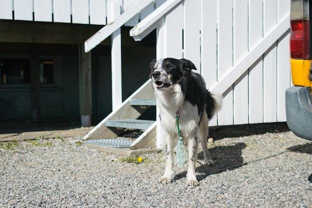 Cão doméstico preto e branco parado em frente ao canil Foto gratuita