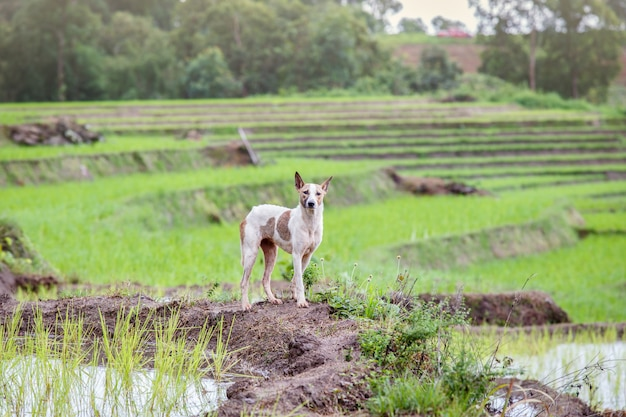Cão, em, unesco, arroz, terraços, em, batad, filipinas Foto Premium