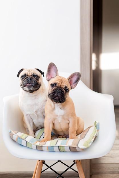 Cão feliz do pug dos animais de estimação e buldogue francês que sentam-se em uma cadeira que olha a câmera. cães estão esperando por comida na cozinha Foto Premium