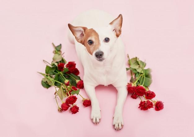 Cão fofo com rosas vermelhas para dia dos namorados Foto Premium