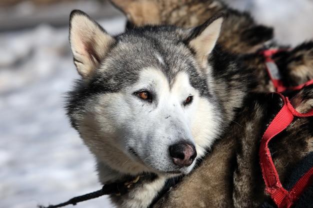 Cão husky em montanha alpina no inverno spitz