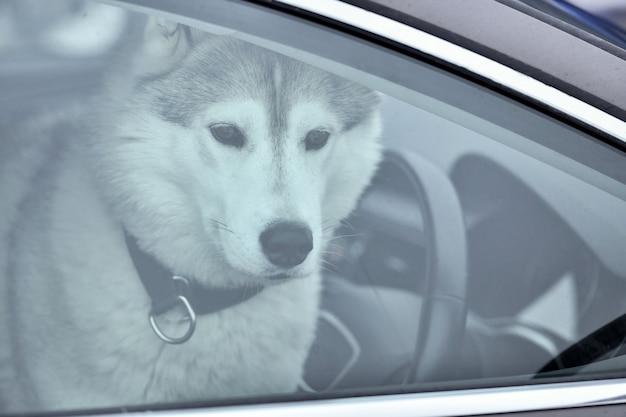 Cão husky no carro Foto Premium