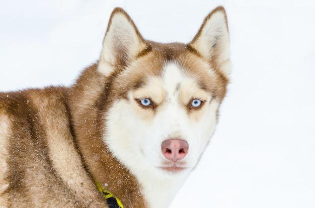Cão husky siberiano com olhos azuis. cão husky tem cor marrom casaco. Foto Premium