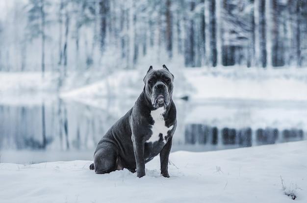 Cão italiano de corso do bastão na paisagem do inverno. Foto Premium