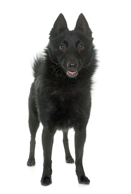 Cão jovem schipperke Foto Premium