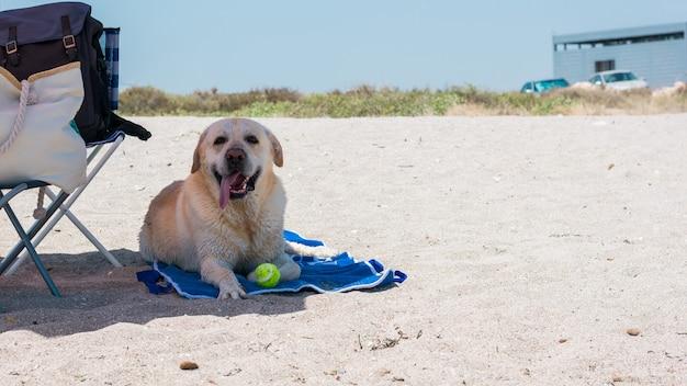 Cão labrador está deitado em uma toalha de praia Foto Premium