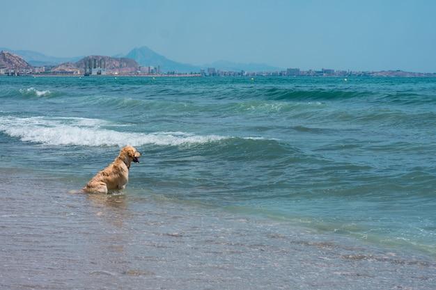 Cão labrador joga e se diverte na praia Foto Premium