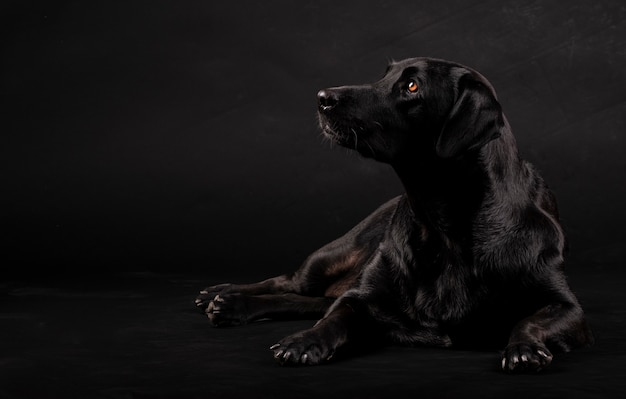 Cão labrador preto sentado no chão e olhando para o lado Foto Premium