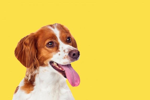 Cão lindo terrier em um fundo amarelo Foto Premium