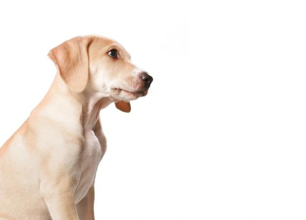 Cão loira de cabelos curtos com a boca fechada Foto gratuita