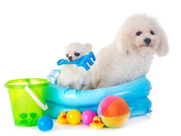 Cão maltês e chihuahua Foto Premium