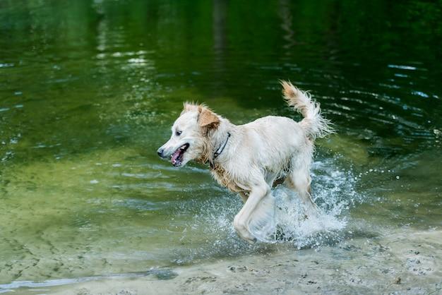 Cão molhado feliz correndo na água Foto Premium