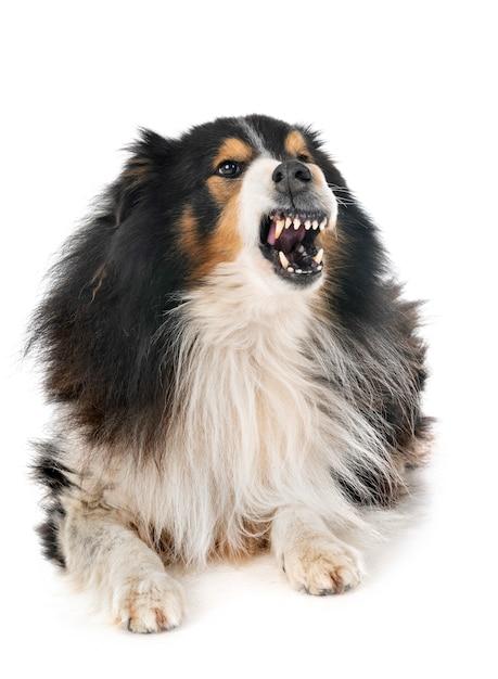 Cão pastor de shetland em estúdio Foto Premium