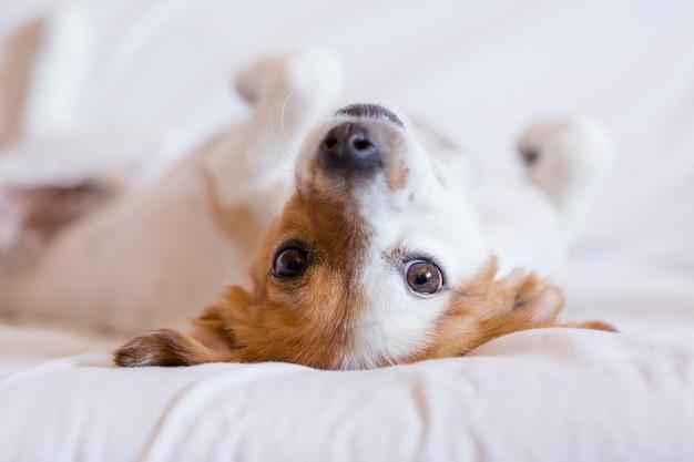 Cão pequeno bonito cão deitado de costas na cama - foco seletivo. Foto Premium