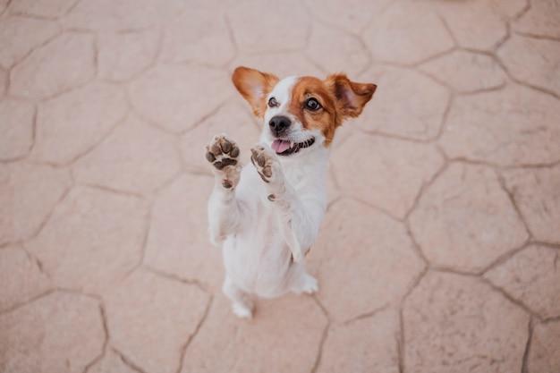 Cão pequeno bonito do jack russell terrier que anda em duas patas que pedem deleites deliciosos. animais de estimação ao ar livre e estilo de vida Foto Premium