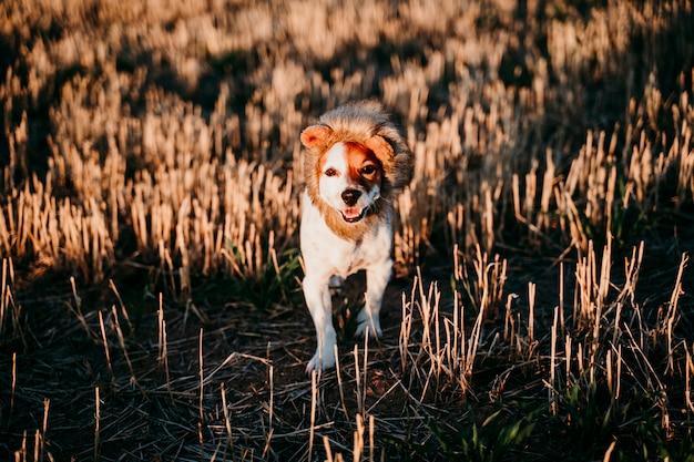 Cão pequeno bonito do terrier de russell do jaque em um campo amarelo no por do sol. vestindo uma fantasia de rei leão engraçado na cabeça. animais de estimação ao ar livre e humor Foto Premium