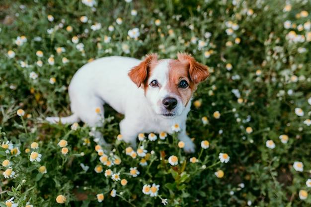 Cão pequeno bonito sentado em um campo de flores margarida. primavera, retrato de estimação ao ar livre. adorável cachorro olhando para a câmera Foto Premium