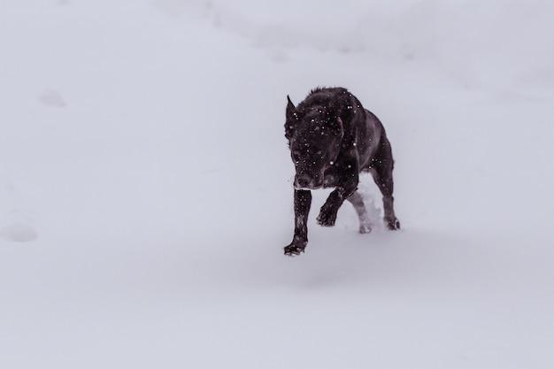 Cão preto coberto de flocos de neve correndo furiosamente em uma área de neve Foto gratuita