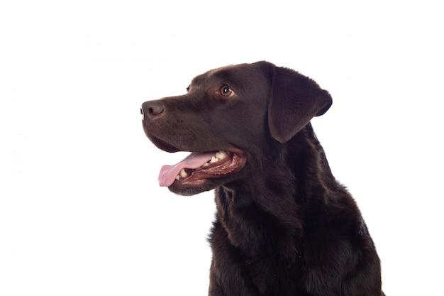Cão preto lindo golden retriever Foto Premium