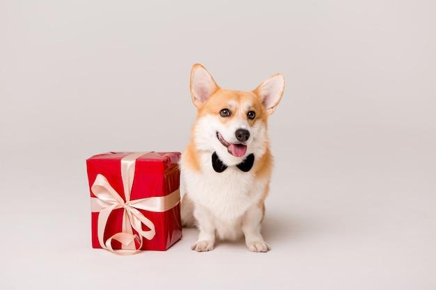 Cão raça corgi em gravata com caixa de presente vermelha em branco Foto Premium