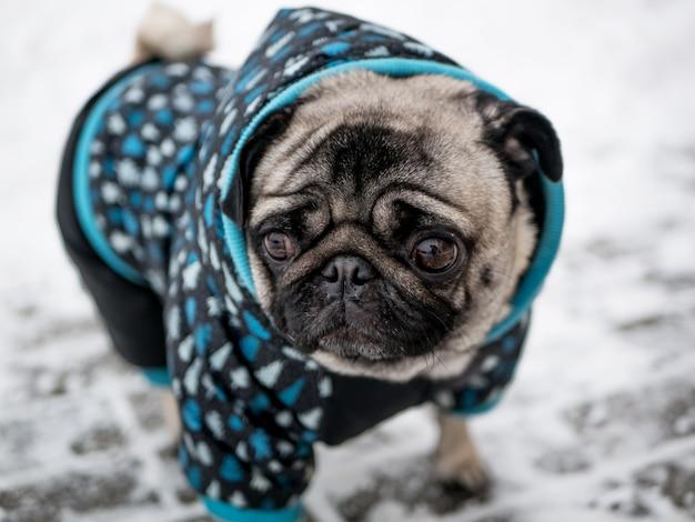 Cão raça pug no casaco Foto Premium