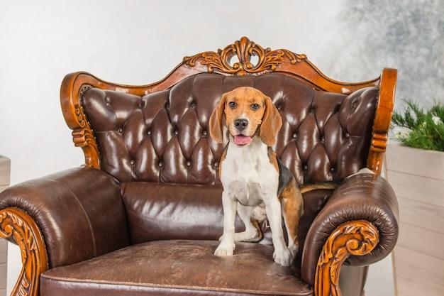 Cão sentado na cadeira. beagle bonito que relaxa. muito grande poltrona em estilo retro. mobiliário antigo, mobiliário antigo, grande cadeira de couro marrom Foto Premium